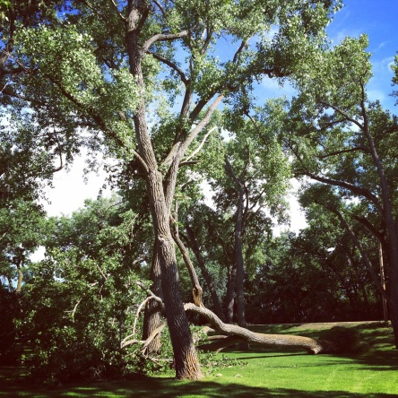 fallen tree @ the golf course